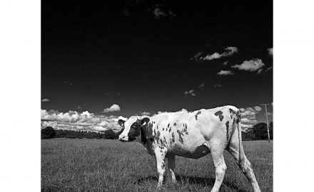 Black and white image of Cow walking into shot