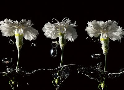 Commercial Conceptual Photograph of Three White Carnations in Water © Paul Worpole Photography