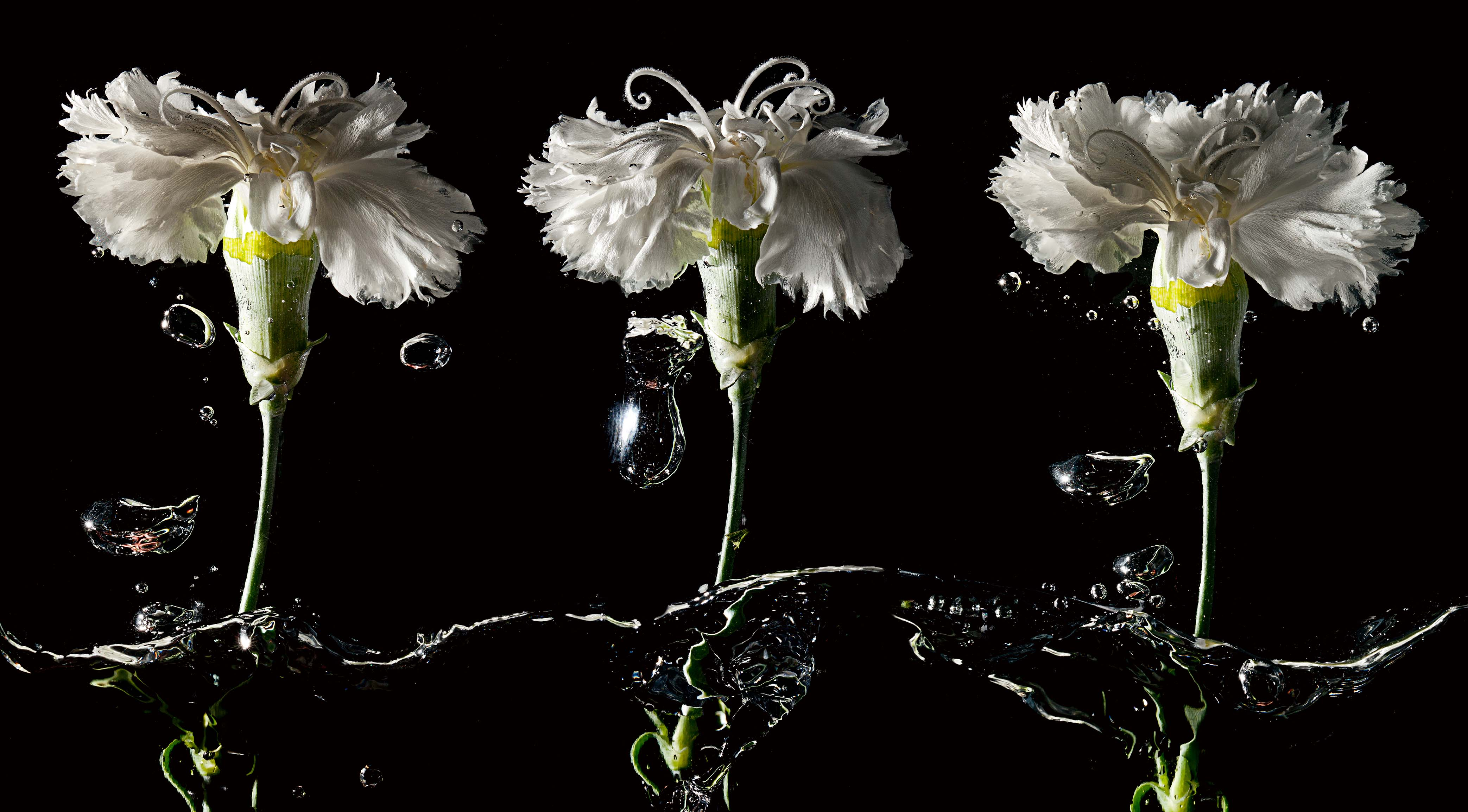 Three Carnations ©Paul Worpole