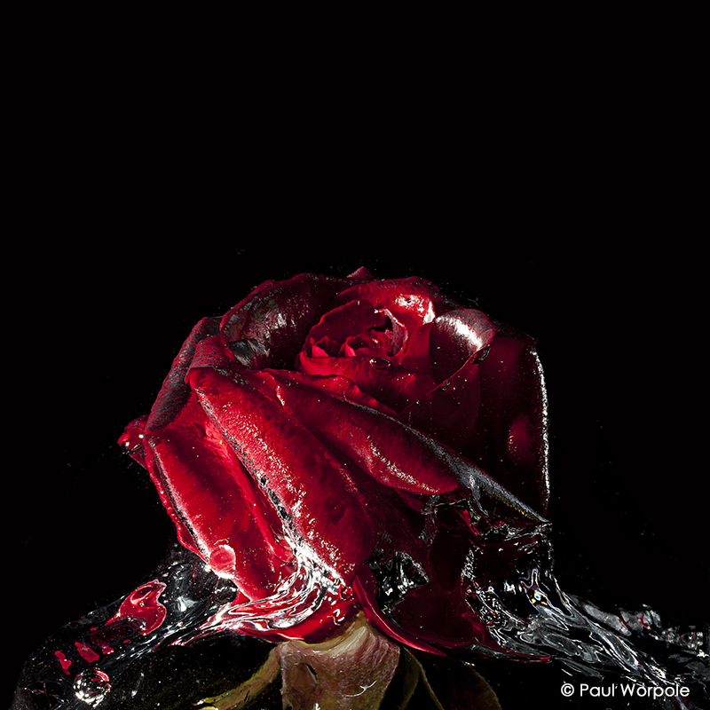 Close Up Product Photography Red Rose in Water Black Ground © Paul Worpole Photography